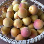 【梅の砂糖煮・梅ジャム】梅の選び方とレシピ