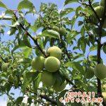 手作り果実シロップ比較【黄梅・赤プラム・ソルダム】
